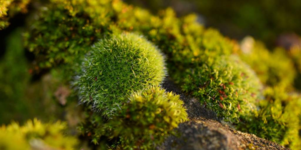 tumbuhan lumut