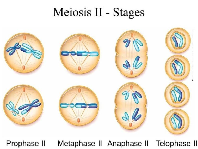 Pembelahan Meiosis II