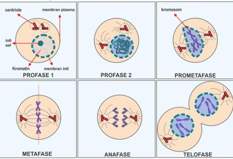 Tahap - Tahap pada Pembelahan Mitosis