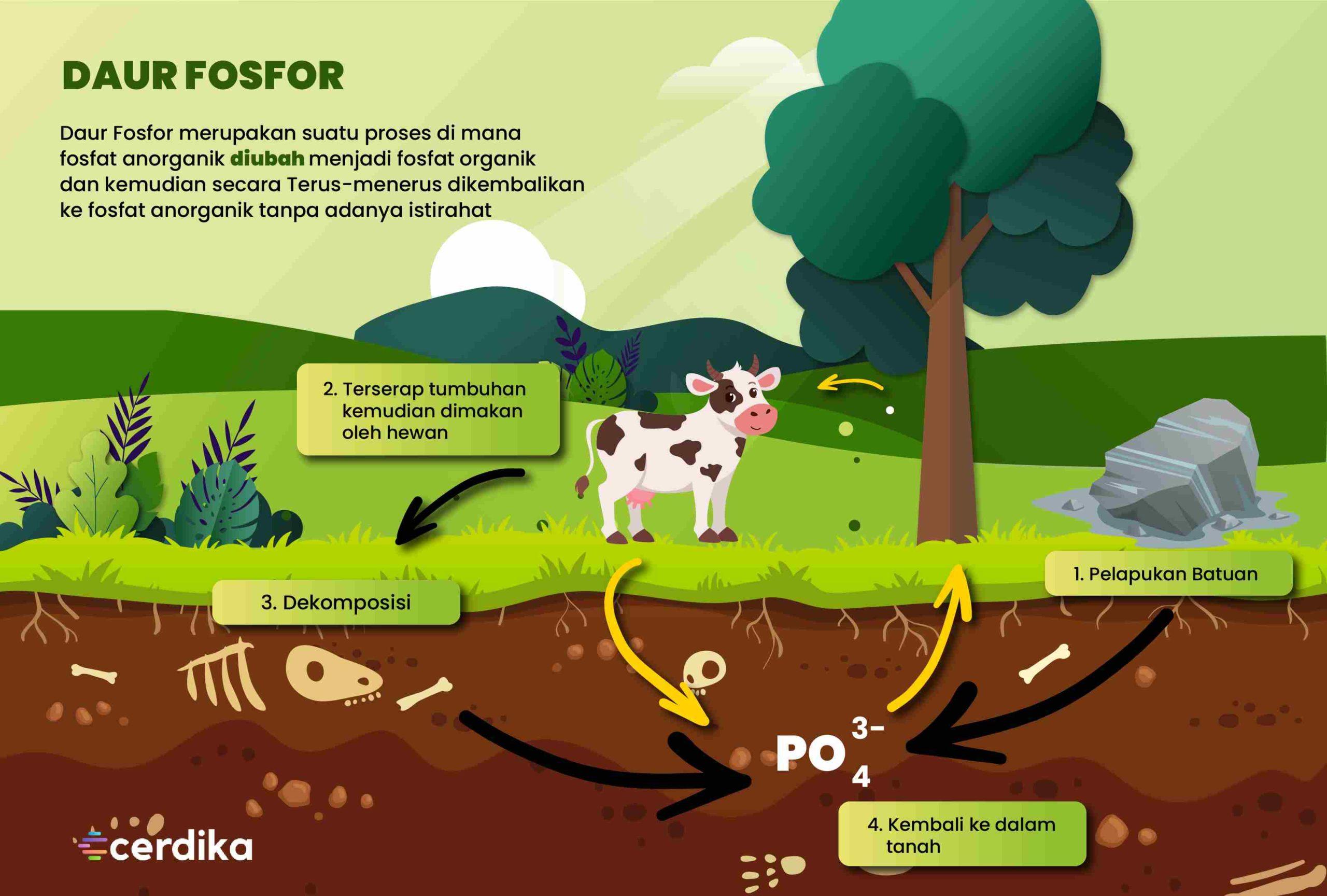 infografis daur fosfor