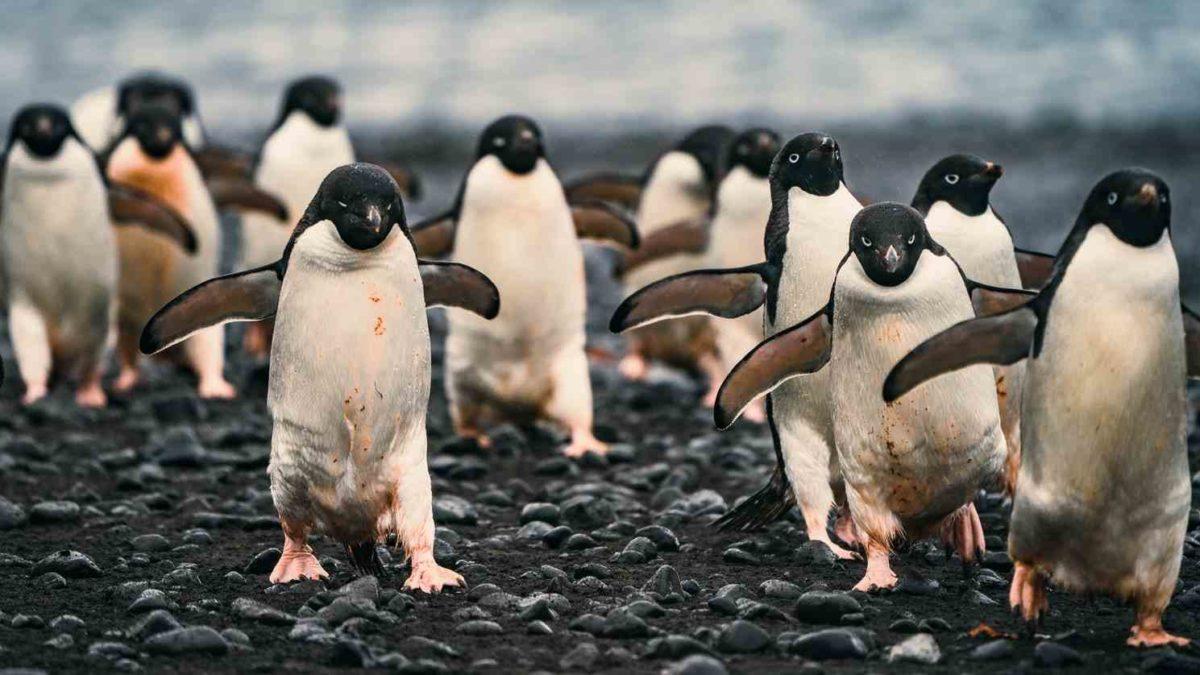 gambar penguin, fauna antarktika