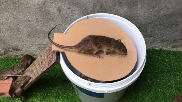 Cara Membuat Jebakan Tikus