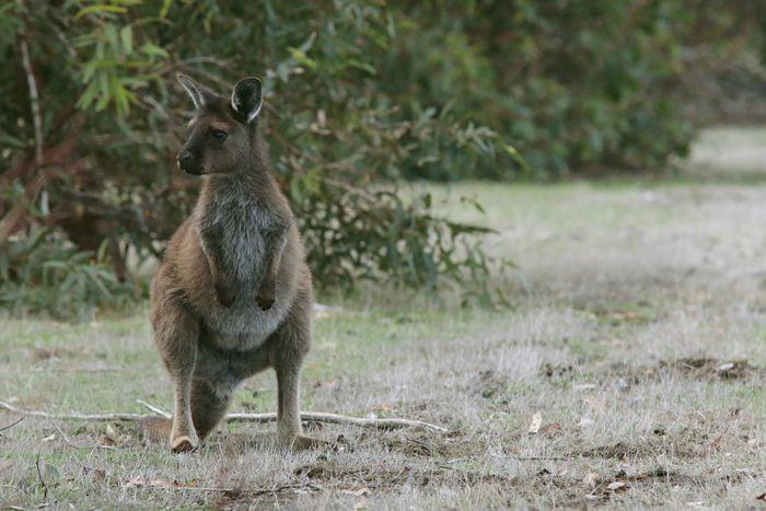 gambar wallaby