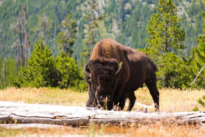 gambar bison