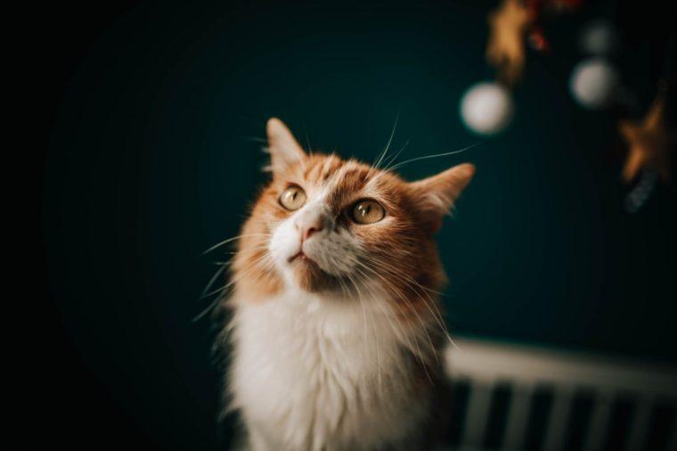 Contoh Teks Laporan Hasil Observasi Kucing