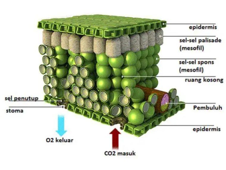 Epidermis (Jaringan Pelindung) pada Tumbuhan