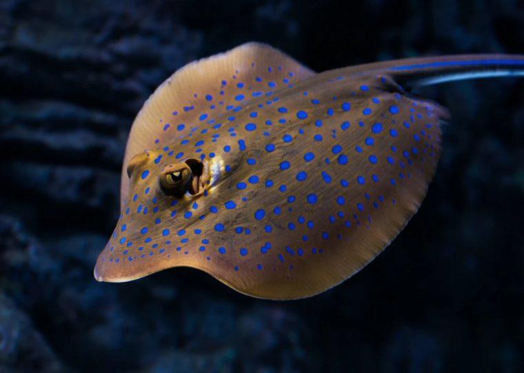 Ikan Pari