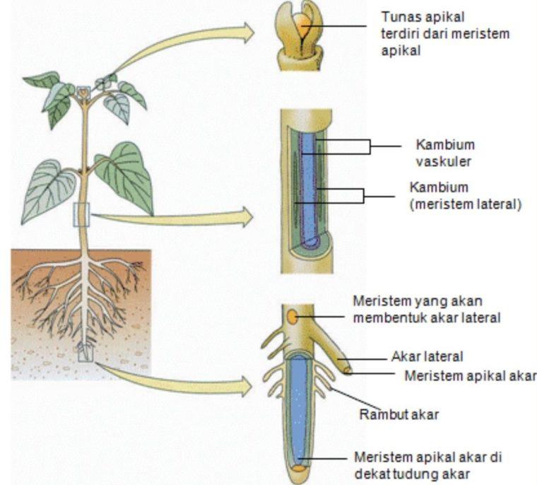 Meristem (Jaringan Embrionik) Tumbuhan