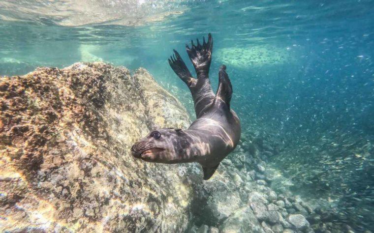 Singa Laut