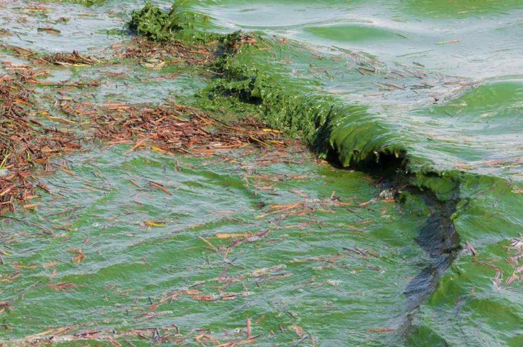 Ciri-Ciri Cyanobacteria