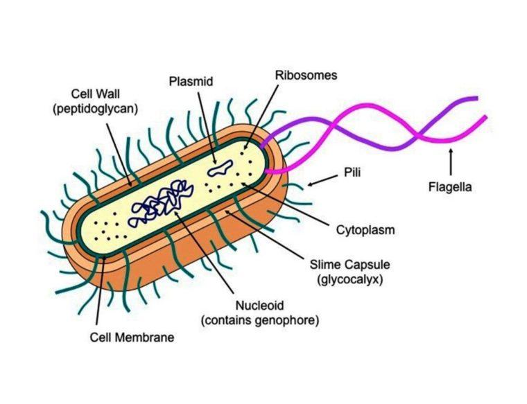 Ciri-Ciri Eubacteria