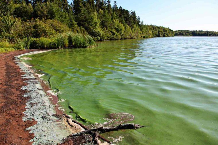 Klasifikasi Cyanobacteria