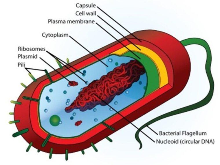 Pengertian Eubacteria