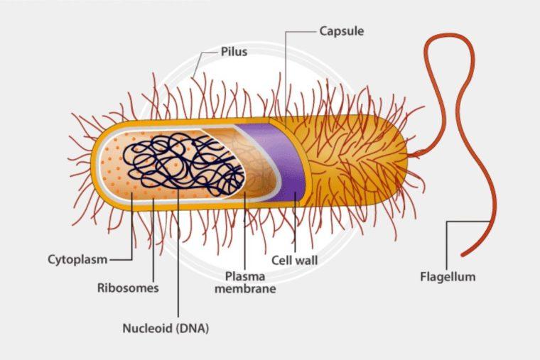 Reproduksi Archabacteria