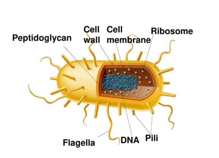 Reproduksi Eubacteria