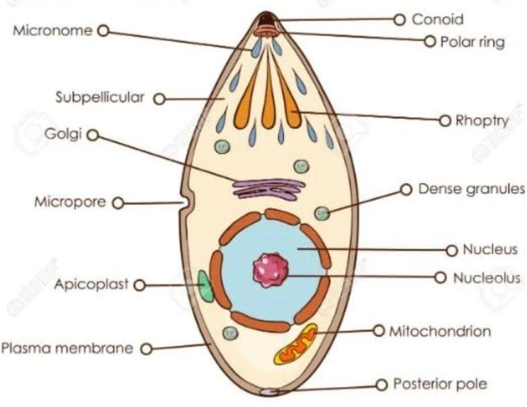 Sporozoa (Penghasil Spora)