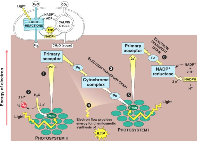 Contoh Reaksi Anabolisme