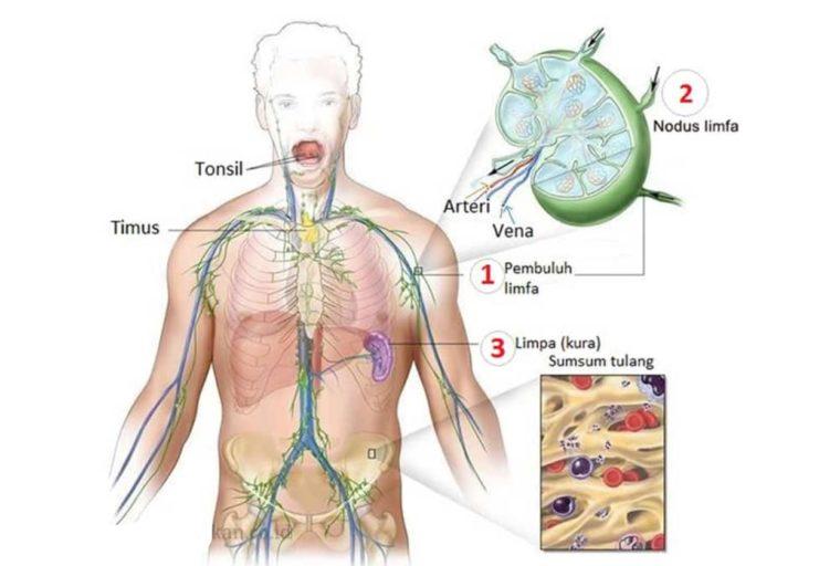 Fisiologi Sistem Limfatik