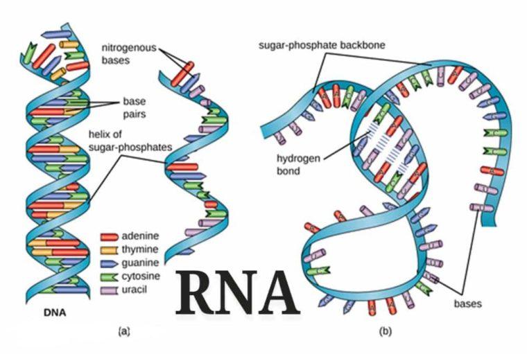 Fungsi dan Sifat RNA