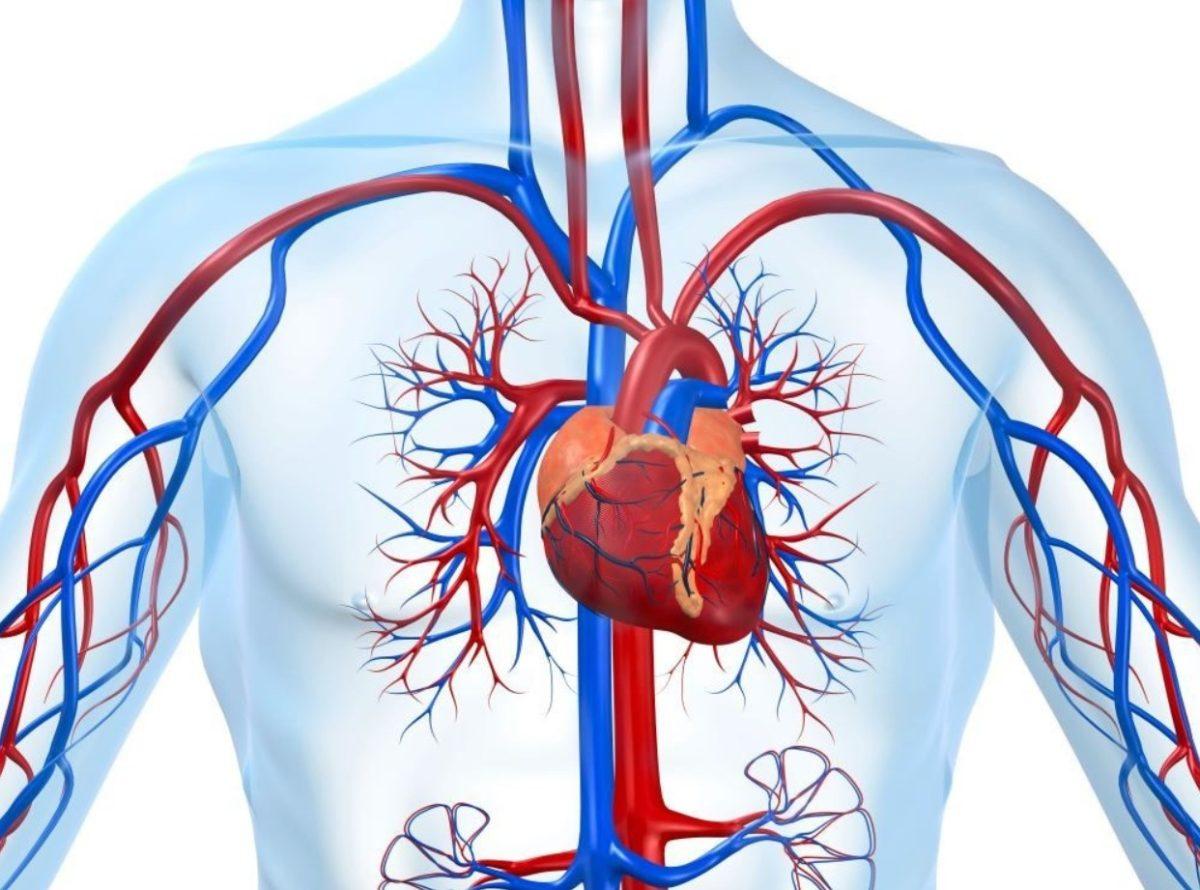 Gambar Thumbnail Sistem Peredaran Darah Manusia