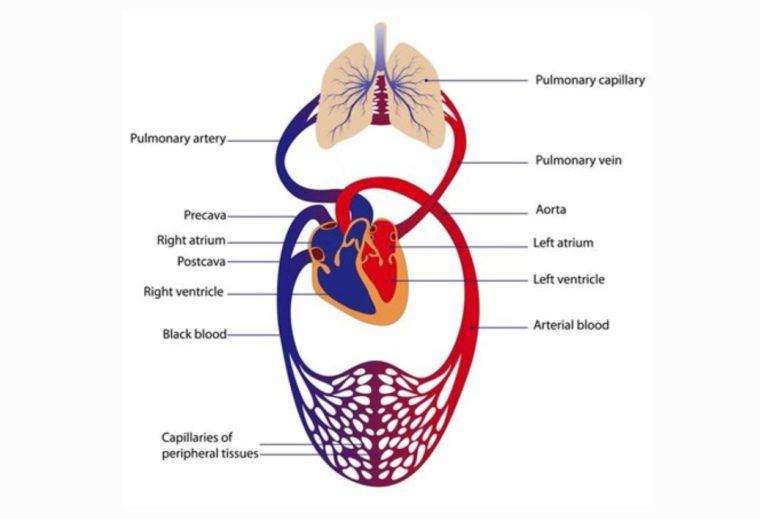 Mekanisme Peredaran Darah