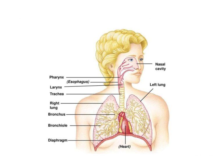 Organ Sistem Pernapasan pada Manusia