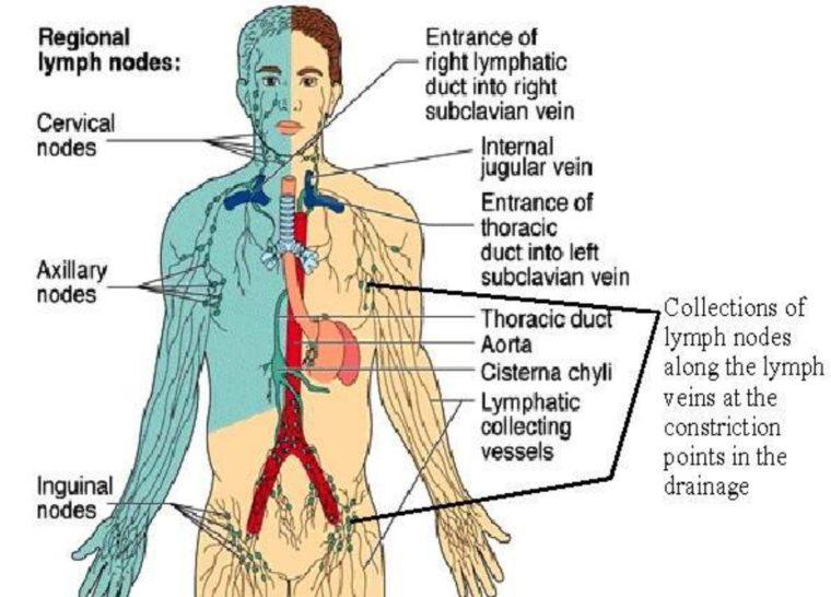 Pengertian Sistem Limfatik