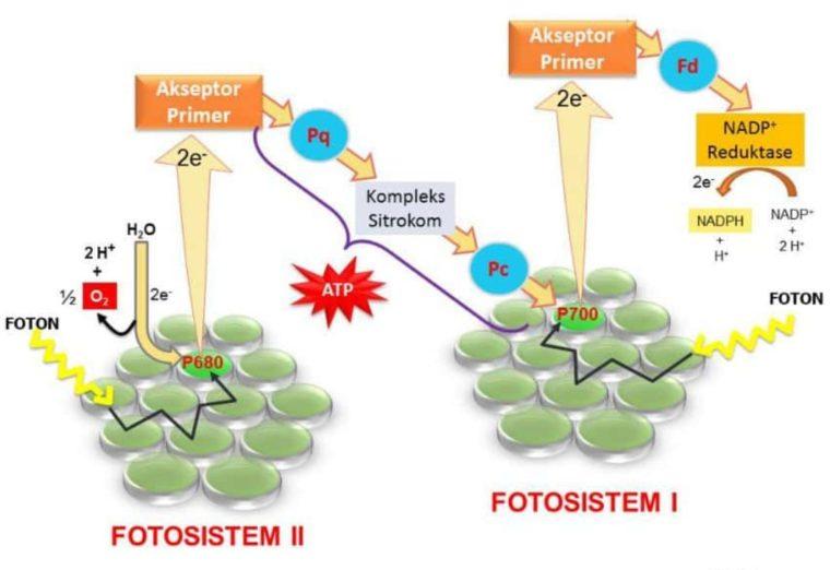 Peranan Hormon pada Reaksi Anabolisme