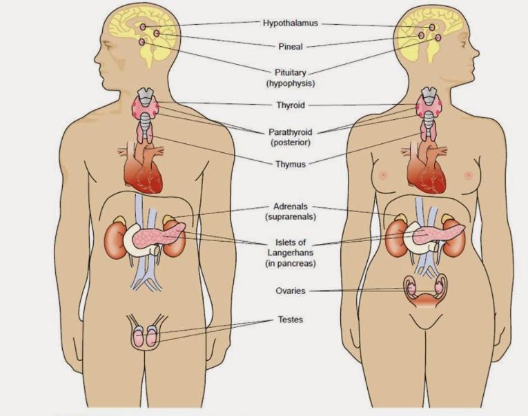 Gambar Thumbnail Perbedaan Sistem Saraf dan Sistem Endokrin