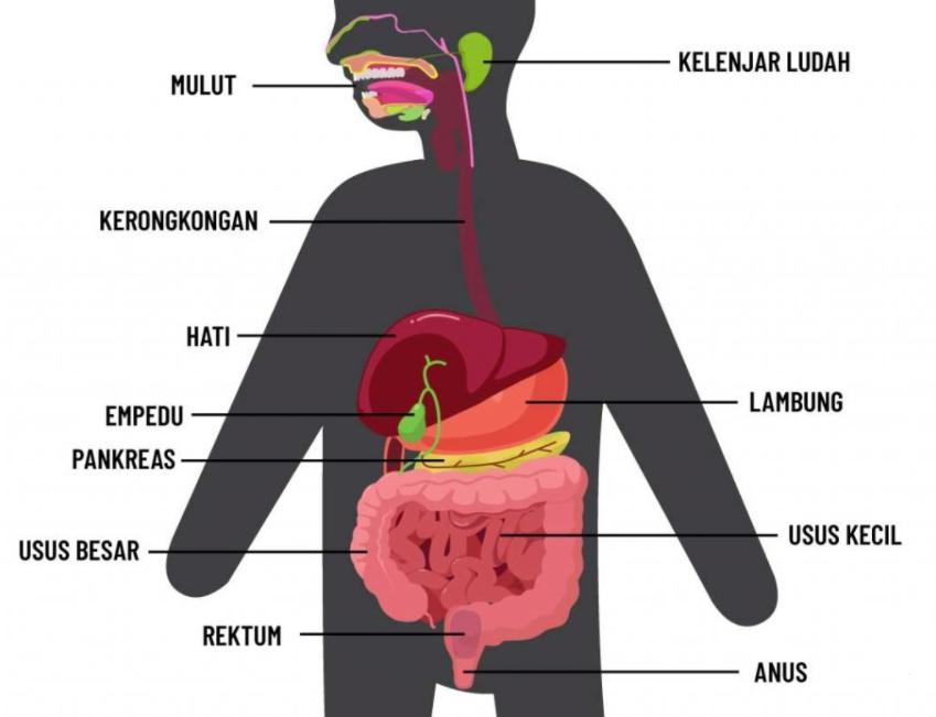 Gambar Thumbnail Sistem Pencernaan Manusia