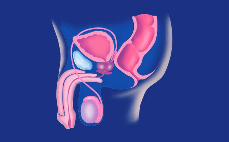 Gambar Thumbnail Sistem Reproduksi Pria