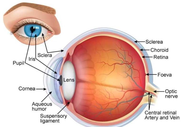 Lapisan Sistem Indera Mata