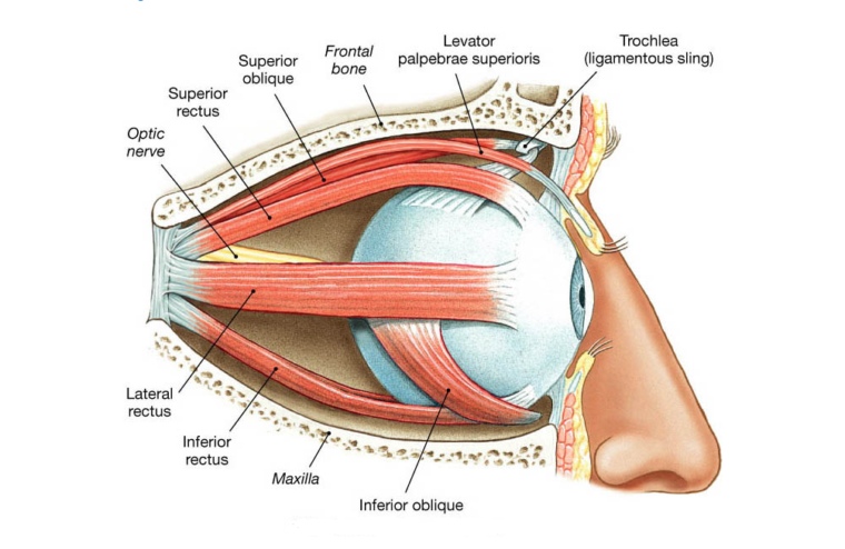 Otot Penggerak Bola Mata