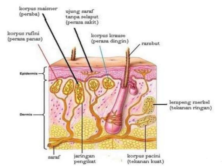 Reseptor Kulit