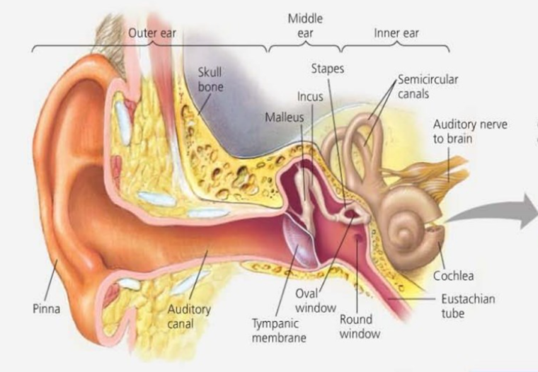 Struktur Reseptor Keseimbangan Indera Telinga